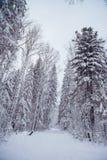 33c 1月横向俄国温度ural冬天 包括的杉木雪结构树 库存照片