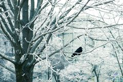 33c 1月横向俄国温度ural冬天 在分支,一个多雪的冬天的鸟 免版税库存图片