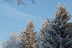 33c 1月横向俄国温度ural冬天 在树的弗罗斯特霜 免版税库存照片