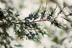 33c 1月横向俄国温度ural冬天 在雪下的柏枝杈 有选择性的foc 库存图片