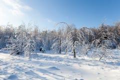 33c 1月横向俄国温度ural冬天 在雪下的白色树 图库摄影