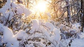 33c 1月横向俄国温度ural冬天 太阳的光芒通过多雪的灌木 库存照片
