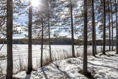33c 1月横向俄国温度ural冬天 杉木在背景的由后面照的阳光下  免版税库存照片