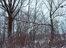 33c 1月横向俄国温度ural冬天 残破的结构树 免版税图库摄影