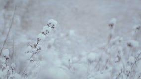 33c 1月横向俄国温度ural冬天 灌木和草在雪 股票录像