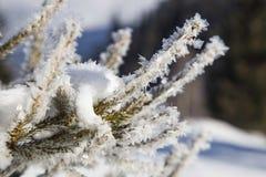 33c 1月横向俄国温度ural冬天 冻结的结冰杉树分支 免版税库存图片