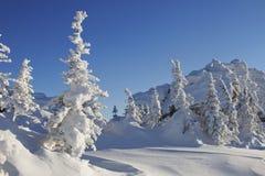 33c 1月横向俄国温度ural冬天 积雪的云杉 免版税库存图片