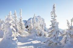 33c 1月横向俄国温度ural冬天 积雪的云杉 库存照片