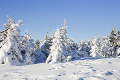 33c 1月横向俄国温度ural冬天 积雪的冷杉木和岩石 免版税图库摄影