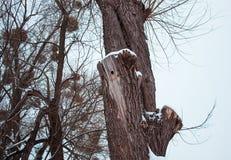 33c 1月横向俄国温度ural冬天 空心啄木鸟 库存图片