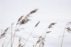 33c 1月横向俄国温度ural冬天 芬兰海湾 草杂草在雪的 俄国本质 免版税图库摄影