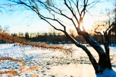 33c 1月横向俄国温度ural冬天 落叶松属分支与橙色针的反对不生叶的树在晴朗的晚上在冬天 在木头的日落 免版税库存图片