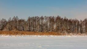 33c 1月横向俄国温度ural冬天 里德和树 雪湖的海岸 免版税图库摄影