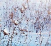 33c 1月横向俄国温度ural冬天 雪的干燥植物在冬天 库存图片