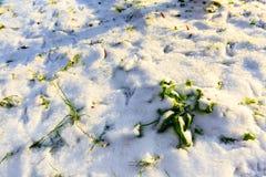 33c 1月横向俄国温度ural冬天 close snow texture up white 与绿草和雪的领域 免版税图库摄影