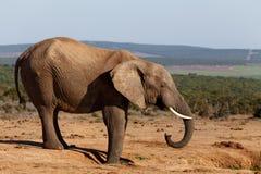 C - 非洲人布什大象 图库摄影