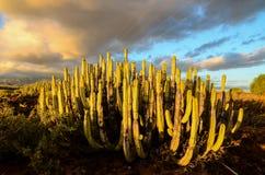 Calm Cactus Desert Sunset. In Tenerife Canary Island stock photos