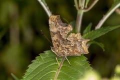 C-album de Nymphalis, c-album de Polygonia, papillon de virgule d'Allemagne Photographie stock libre de droits