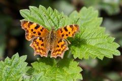 C-album di Polygonia della farfalla di virgola appollaiato sul cespuglio Fotografia Stock