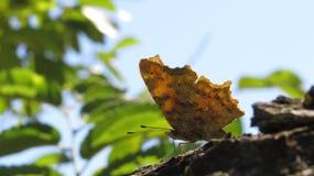 C-album di Polygonia della farfalla su un ramo di albero Ali poligonali Immagine Stock