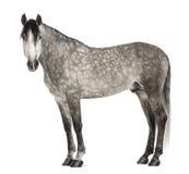 $c-andalusisch, 7 jaar oud, bekijkend camera, die ook als het Zuivere Spaanse Paard wordt bekend Stock Afbeeldingen