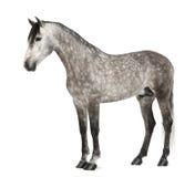 $c-andalusisch, 7 jaar oud, ook gekend als Zuiver Spaans Paard Stock Fotografie