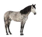 $c-andalusisch, 7 jaar oud, ook gekend als Zuiver Spaans Paard Stock Foto's