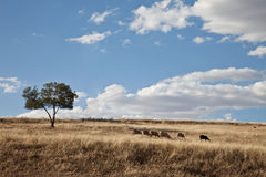 $c-andalusisch landschap met een troep van schapen Stock Fotografie