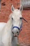 $c-andalusisch paard in nagellandbouwbedrijf Stock Foto's