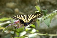 C.Butterfly Royalty Free Stock Photo