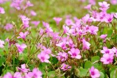 C.C. latin do corymbosa de Oxalis do nome da flor vermelha minúscula fotos de stock