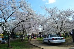 C.C. de Washignton, Colômbia, EUA - 11 de abril de 2015: As árvores de cereja na flor completa Imagem de Stock Royalty Free