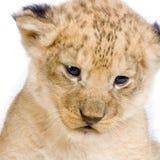 C del Cub di leone Fotografie Stock Libere da Diritti