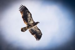 C'est Eagle chauve juvénile volant au-dessus de Texas Lake photographie stock