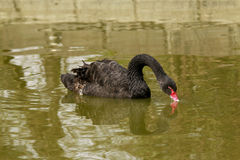 C'est le cygne noir qui est vu en parc de la Chine Photo libre de droits