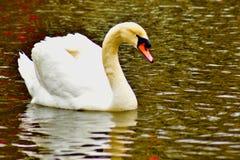 C'est le vrai lac swan photos stock