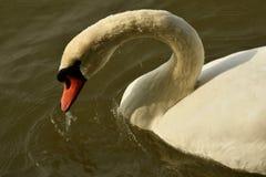 C'est le vrai lac swan image libre de droits