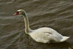 C'est le vrai lac swan photo libre de droits