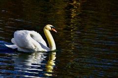 C'est le vrai lac swan images stock