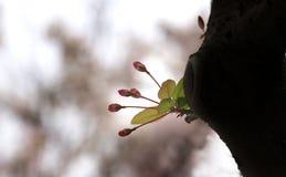 C'est les fleurs de cerisier Photos libres de droits
