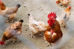 C'est quelques poulets photo libre de droits