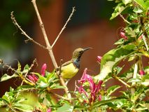 C'est Sunbird images libres de droits