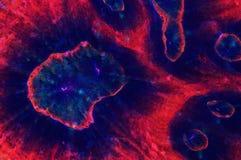 C'est un corail d'Australomussa Photographie stock libre de droits