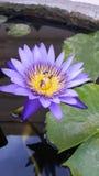 C'est un lotus Photographie stock libre de droits