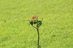 c'est un petit arbre avec une rose rouge photo stock