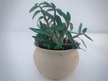 C'est un pot de bonsa?s de Dendrobium photo libre de droits
