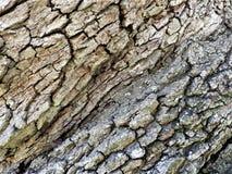 C'est une fin vers le haut de vue d'un chêne très vieux image libre de droits