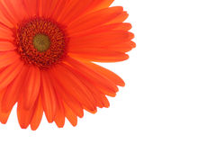 Marguerite orange de gerber sur le blanc Image stock