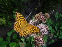 C-falter. Yellow an brown butterfly sitting on a plant Stock Photography