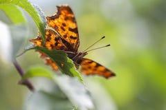 C-farfalla - c-album di Polygonia Immagine Stock Libera da Diritti